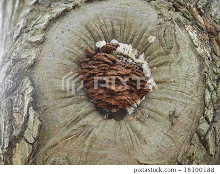 樹上裝滿了松果 18100188