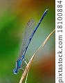 Coenagrionidae dragonfly 18100884