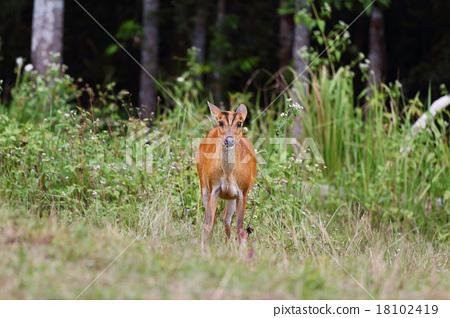 barking deer 18102419