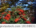 pyracantha, firethorn, fruit 18108631