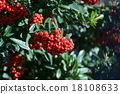 pyracantha, firethorn, fruit 18108633