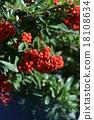 pyracantha, firethorn, fruit 18108634