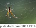 web pisauridae pisaura mirabilis 18111916
