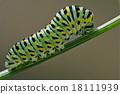 wild caterpillar  fennel branch 18111939