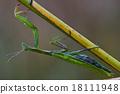 wild side  praying mantis mantodea 18111948