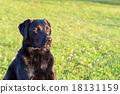labrador retriever, black, meadow 18131159