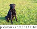 labrador retriever, black, meadow 18131160