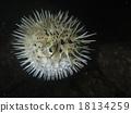 河豚 密斑刺 魚 18134259