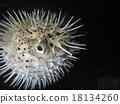 河豚 密斑刺 魚 18134260