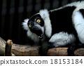 lemuridae, black, white 18153184