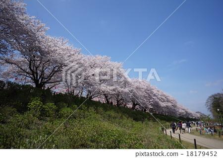 Cherry blossom trees 18179452