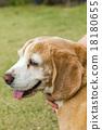 狗 狗狗 比格犬 18180655