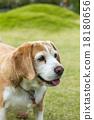 狗 狗狗 比格犬 18180656