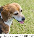 狗 狗狗 比格犬 18180657