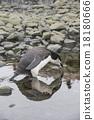 Chinstrap Penguin 18180666