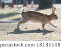 Okunojima兔子 18185148
