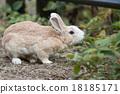 Okunojima兔子 18185171