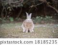 Okunojima兔子 18185235