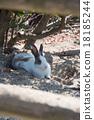 Okunojima兔子 18185244
