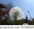 dandelion, plant, vegetative 18188008