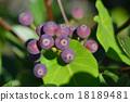 rhaphiolepis, umbellata, fruit 18189481