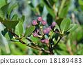 rhaphiolepis, umbellata, fruit 18189483