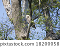 長尾林鴞 貓頭鷹 猛禽 18200058