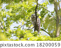 長尾林鴞 貓頭鷹 猛禽 18200059