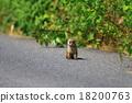 鼬鼠 野生 肉食的 18200763