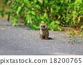 鼬鼠 野生 肉食的 18200765