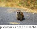 鼬鼠 野生 肉食的 18200766