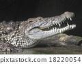 nile, crocodile, alligator 18220054