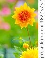 植物 花蕾 蓓蕾 18225752