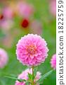 植物 開花 花卉 18225759