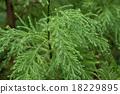 萌芽 针叶 针叶树 18229895