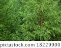 嫩芽 針葉 針葉樹 18229900