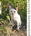 แมวขาว 18253279