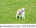 lamb, grass, field 18256480