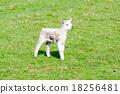 lamb, grass, field 18256481