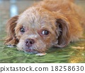 Brown Miniature Poodle dog lying on the floor. 18258630