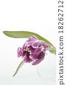 鬱金香 植物 植物學 18262712