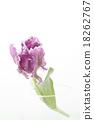 鬱金香 植物 植物學 18262767