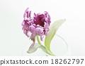 鬱金香 植物 植物學 18262797