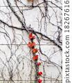autumn, foliage, ivy 18267616