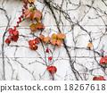 autumn, foliage, ivy 18267618