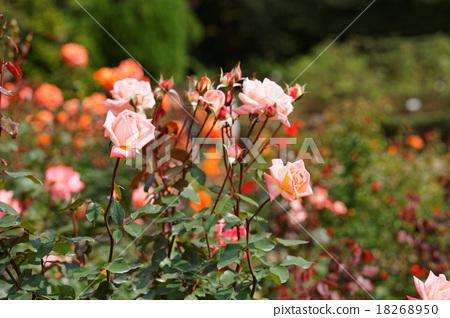 진다이 식물 공원의 장미 꽃 바이올렛 카슨 18268950