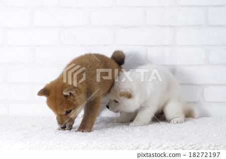 A white Shiba Inu found something 18272197