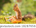 dutch squirrel 18287656