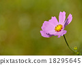 cosmos in autumn 18295645