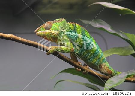 Panther Chameleon 18300278